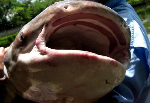 Chao phraya catfish pangasius sanitwongsei dreamlake for Dreaming of eating fish