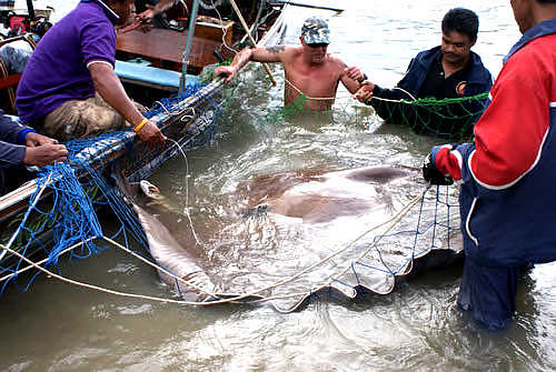A huge Giant Freshwater StingRay caught Fishing in Thailand