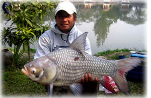 Giant siamese carp fishing in Thailand