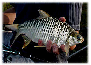 Information on the Silver Java Barb species for anglers fishing in Thailand