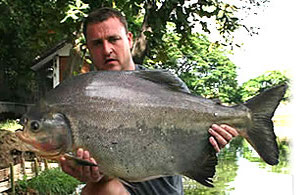 Red bellied pacu Thailand