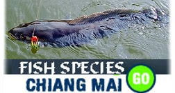 link to page with information about sport, coarse, game, tropical, native and imported fish in Chiang mai