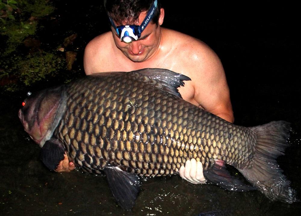 Giant siamese carp