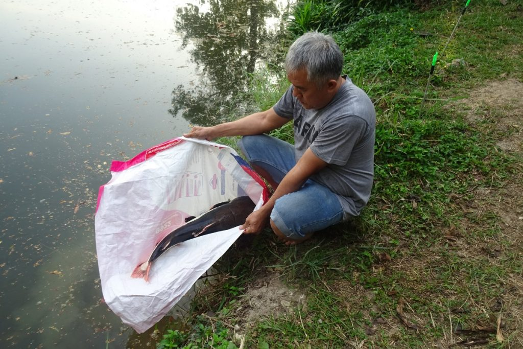 Tambaqui now introduced to Dreamlake Fishing Resort Chiang mai